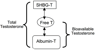 Figure 1. Forms of testosterone in the body. SHBG-bound testosterone is hormonally inactive. T=Testosterone.